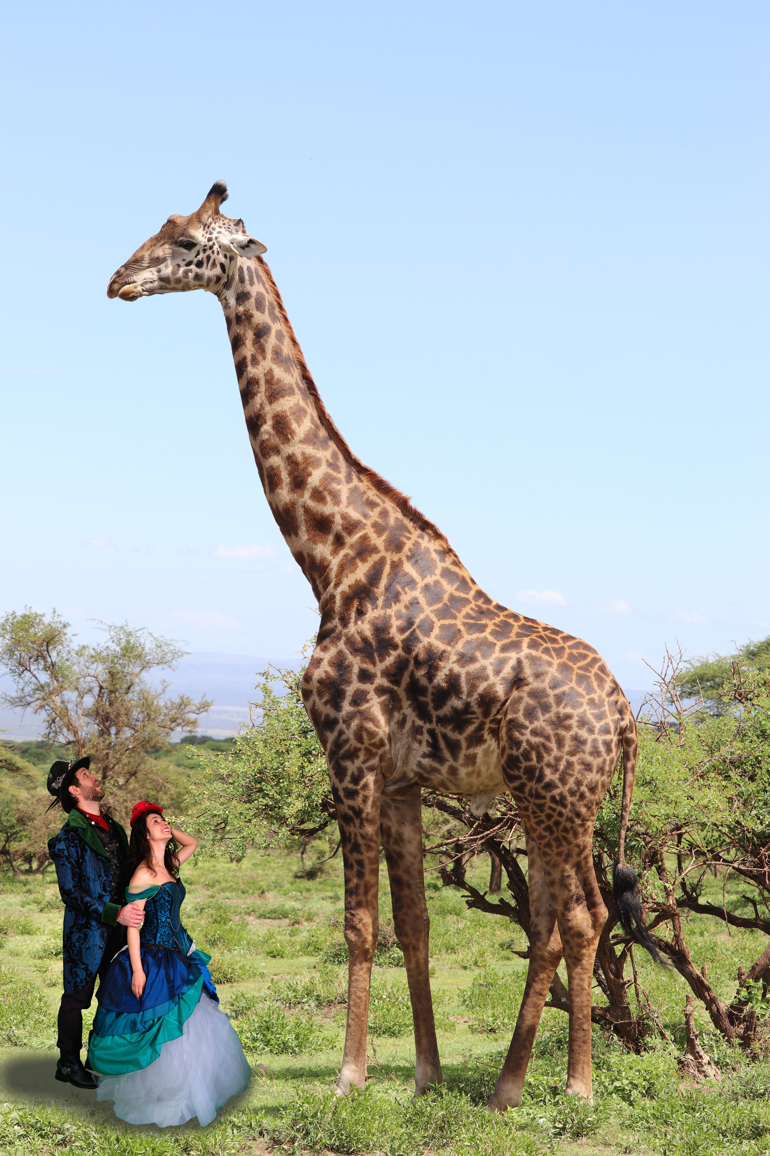 giraffe in the wild man woman standing by looking up